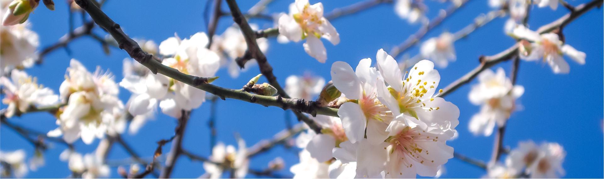 Arbre en fleur au printemps