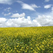 à Chiny, soufflez et admirez les champs de fleurs